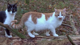 Cats on the forest walk Live Action