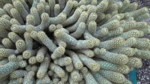 Mammillaria elongata also known as lace cactus Footage