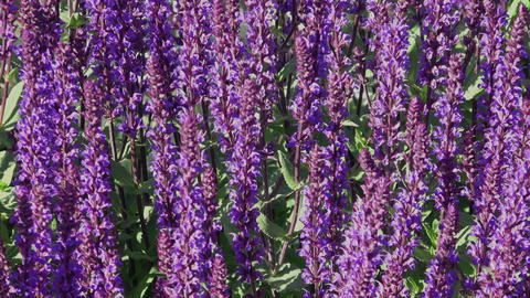 Woodland sage also called Salvia nemorosa Footage