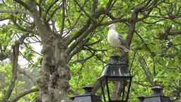 France Cote d'Azur Saint Tropez seagull sits on old lantern in plane tree park Archivo