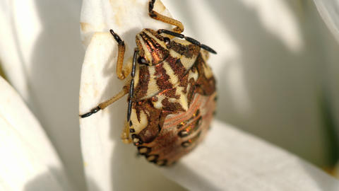 Brown Marmorated Stink Bug Footage