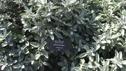 Common sage plant, aromatic herb and spice. Salvia officinalis in the garden Footage
