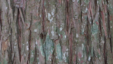 Natural tree bark with dry brown scales and lines Footage
