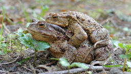 Common Toads Mating. European common toad (bufo bufo) Footage