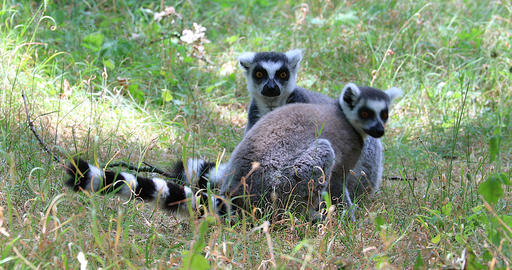 Ring Tailed Lemur Couple In Nature - Close Up Live Action