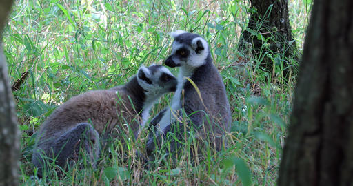 Ring Tailed Lemur Couple Footage