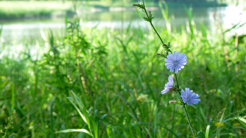 Blue flower on natural background. Flower of wild chicory... Stock Video Footage