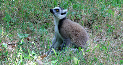 Beautiful Ring Tailed Lemur Sitting In Nature Live Action