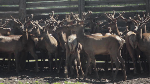 Maral. Fauna of the Altai mountains. Deer in nature. Deer in the nature of Altai Footage