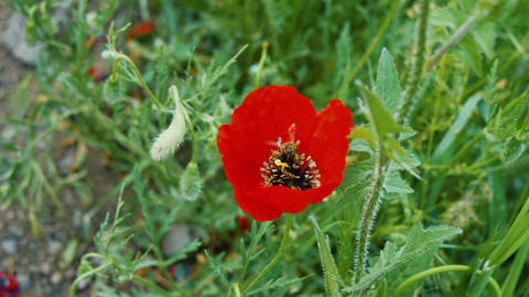 Flower of red poppy with a bee collecting pollen Footage