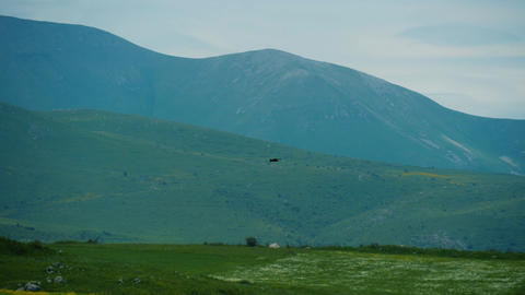 Bird of pray hunts in green mountains. Hawk flies above blooming fields Live Action