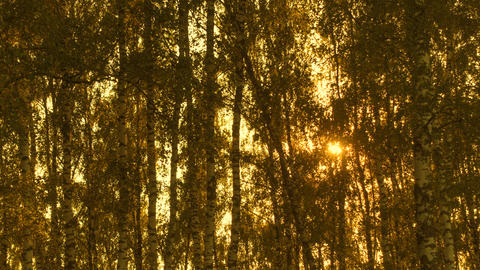 Time lapse of trees in sunlight, forest at beautiful sunset Footage