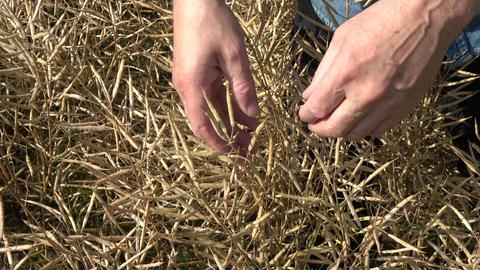 Farmer agronomist looking ripe rapeseed grain condition ビデオ