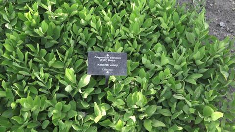Polygonatum odoratum green plant leaves. Medicinal plant Footage