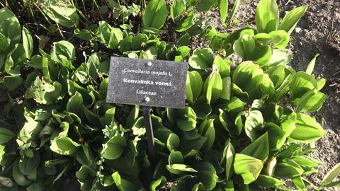 Bright green Convallaria majalis in the garden. Medicinal plant Footage