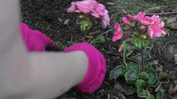 Planting pink flowers outside in the garden. Close up of gloved hands digging Footage