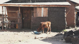 Cow in a village Footage
