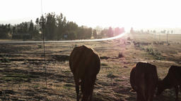 Cattle eating grass Footage