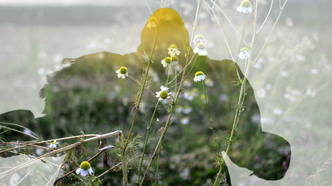 Mixed media of two footage from camomile flowers and 3d animation Animation