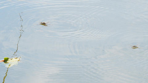 Water strider on the water pond Footage