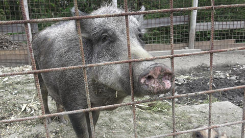 Wild boar. Little pig. Young wild boar piglets with their mother Footage
