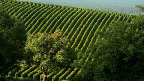 Bordeaux vineyard, landscape vineyard south west of france Footage