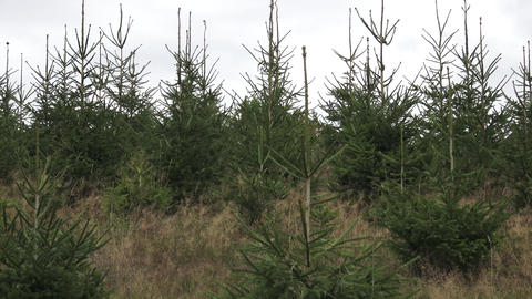 Young Trees in the Nursery for Growing Spruce for Christmas. Young forest grow. Live Action