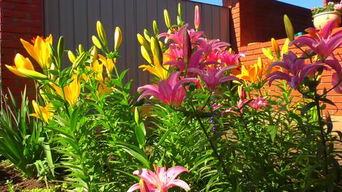 Garden Lily violet Footage