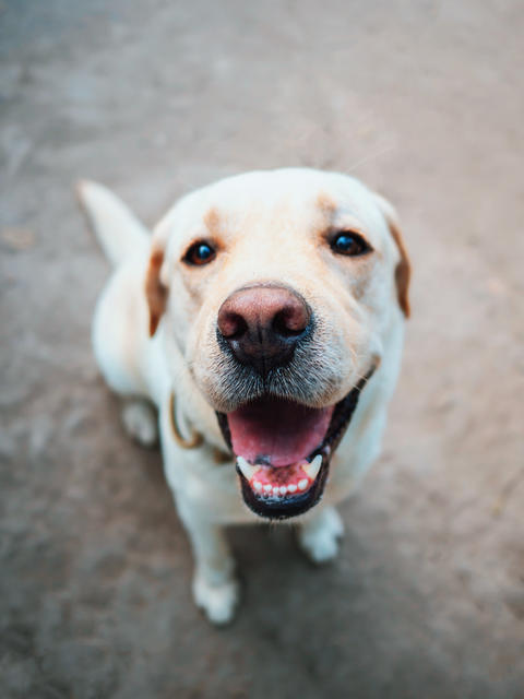 Beautiful adult golden labrador dog. Doggy smiling. He's feeling hot at summer Photo