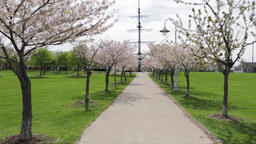 Paved pathway lined with cherry blossom trees with a man walking away. Footage