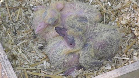 Newborn postal pigeons GIF