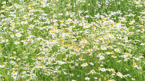 Flowers of white beautiful chamomiles blossoming in field near forest Live Action