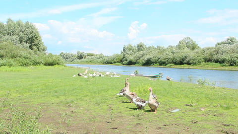 Geese on meadow near river. Domestic birds on pasture in summer Live Action