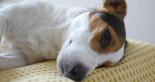Dog lying on sofa Live Action