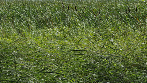 Summer Grass and Reeds Swaying with a Strong Wind Footage