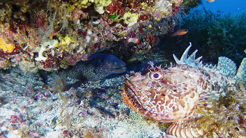 Wildlife underwater - Moray eel and a red scorpionfish in a colourful Mediterranean sea reef Live Action
