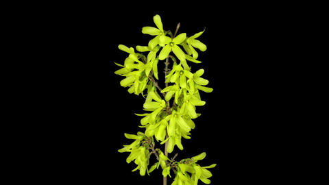 Time-lapse of opening forsythia flowers in RGB + ALPHA matte format, top view Footage