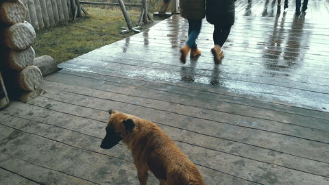Homeless dog standing on wooden porch, looking at people passing by carelessly Live Action