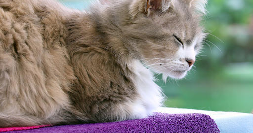 Beautiful Domestic Cat Lying On The Table - Profile View Footage