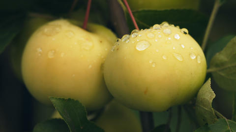 Macro shot of two ripe apples Footage
