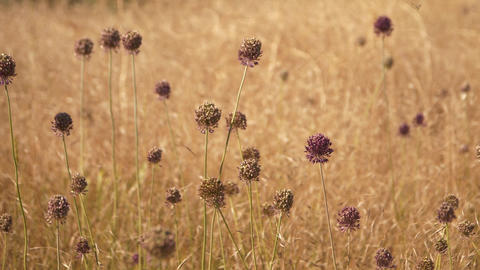 The bee flies over a hot, dry field in search of nectar Slowed video Footage
