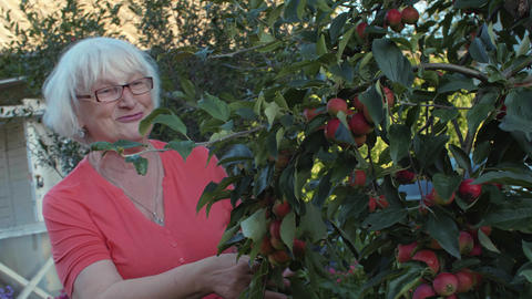 Gardener woman looking apple tree and and harvesting fruit in countryside garden Footage