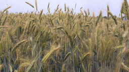Wheat Blades in a Field Close Up Live Action