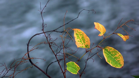 Branch with autumn leaves ライブ動画