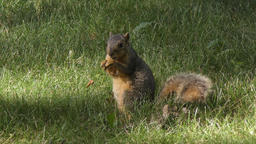 american fox squirrel feeds on grass Stock Video Footage