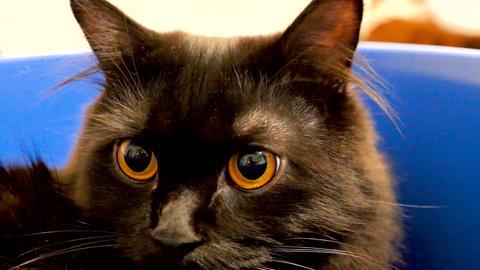 Portrait of beautiful black norwegian forest cat in blue bowl 영상물