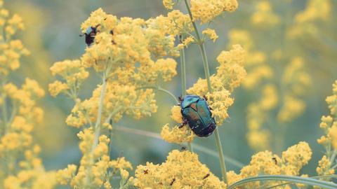 Large shiny green beetle Footage