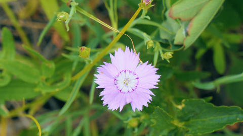 Small pink flower on natural background Footage