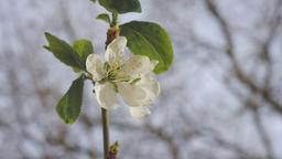 Spring Tree Flower Blossom Footage