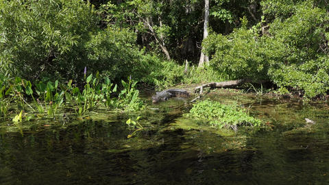 American Alligator At Edward Ball Wakulla Springs State Park US GIF